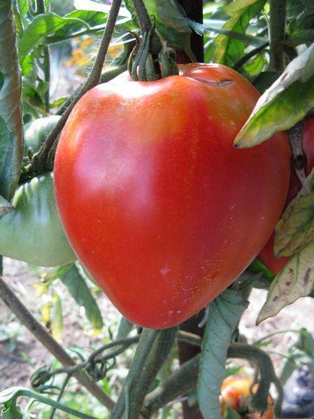 Photos tomates tomate coeur de boeuf - Cuisiner le coeur de boeuf ...