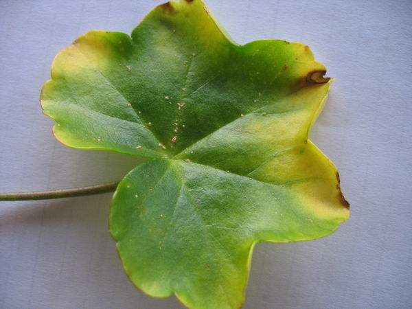 Parasite sur feuilles g ranium au jardin forum de jardinage for Comment arroser les geraniums