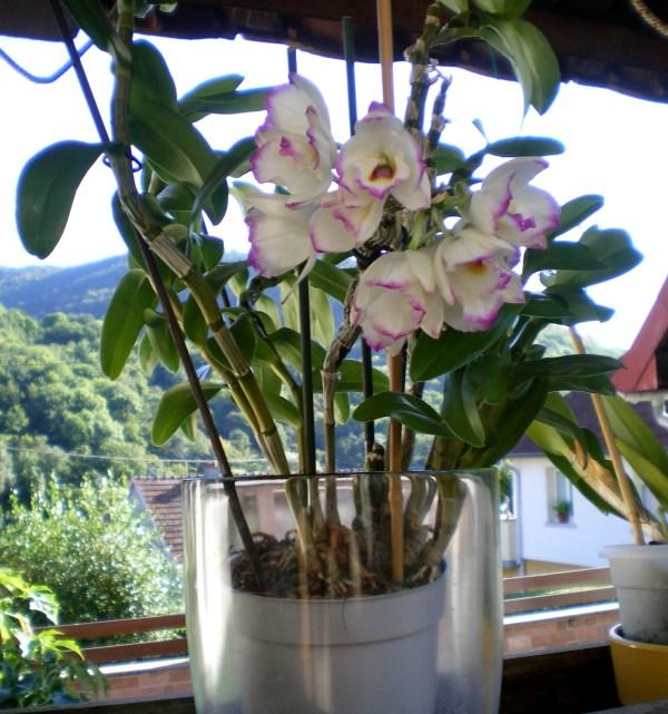 orchid es soins et culture ex r d de culture et sauveta page 2 au jardin forum de. Black Bedroom Furniture Sets. Home Design Ideas