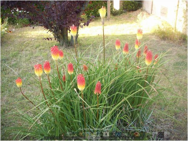 Plante fleurs rouges et jaunes dans un jardin vend en for Fleurs dans un jardin